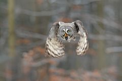 Bird in flight. Great Grey Owl, Strix nebulosa, flying in the forest, blurred autumn trees with first snow in background. Wildlife. Animal scene from nature stock image