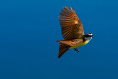 Bird in flight, Great Kiskadee Stock Photo