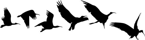 Bird flight and landing. Silhouettes of bird flight and landing vector illustration