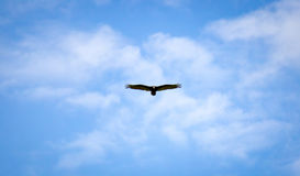 Bird in Flight Royalty Free Stock Images