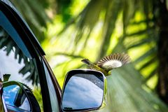 BIRD IN FLIGHT LEAVING CAR MIRROR stock photos