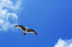 Bird during the flight. Royalty Free Stock Images