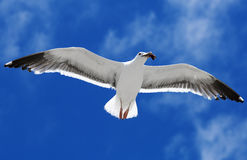 Bird during the flight. Stock Images