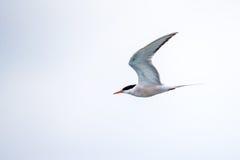 Bird in flight - Roseate Tern Stock Images