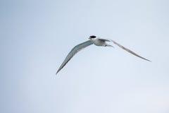 Bird in flight - Roseate Tern Stock Photography