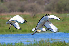 Bird , The flight of the Sacred Ibis to Brière on the Canal Royalty Free Stock Images