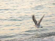 Bird in flight. Seagull flies over the calm sea Royalty Free Stock Photography