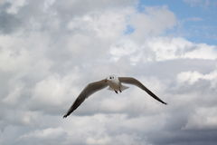 Bird in flight. Seagull in flight. Poland - Baltic sea Royalty Free Stock Images