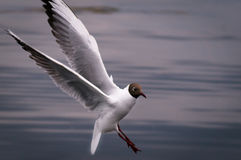 Bird in flight, white seagull in flight. White seagull with black head land on the water, close-up royalty free stock images