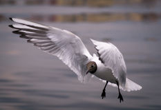 Bird in flight, white seagull in flight. White seagull with black head land on the water, close-up stock photo