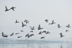 Bird flock. Flock of wild duck flying over a lake Royalty Free Stock Photos