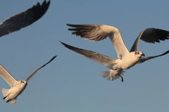 BIRD. Flock of Seagull hovering for food at Galveston Ferry harbour Royalty Free Stock Images
