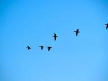 Bird flock of snow Canadian geese flying Stock Photos