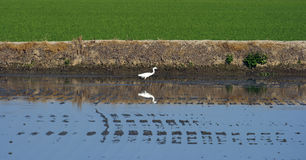 Bird in a flooded rice crop Royalty Free Stock Photos