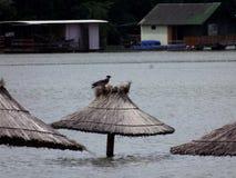 Bird on a flooded umbrella. A bird on a flooded umbrella stock photography