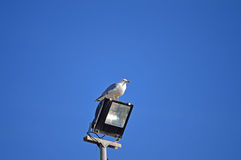 Bird On A Floodlight. A seagull sitting on a floodlight in a clear blue sky Royalty Free Stock Image