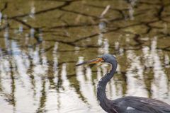Bird in Florida swamp stock image