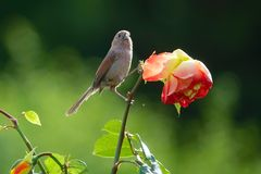 Bird and flower. A Vinous-throated Parrotbill stands on flower of China rose. Scientific name: Paradoxornis webbianus Royalty Free Stock Photo