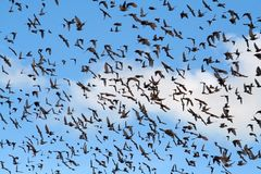 Bird flu. Birds heading south Royalty Free Stock Images
