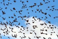 Bird-flu. Birds heading south Stock Photography