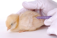 Bird Flu Research Stock Images