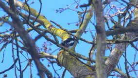 Bird fly away from tree. Great spotted woodpecker on tree branch stock video