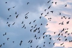 Bird fly in blue sky with white clouds. So many bird in sky Royalty Free Stock Photo