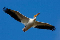 Bird in fly with blue sky. White Pelican, Pelecanus erythrorhynchos, from Florida, USA. White pelican in flight with open wings. A Stock Photo