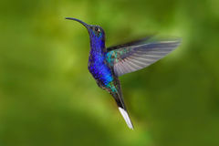 Bird in fly. Flying hummingbird. Action wildlife scene from nature. Hummingbird from Costa Rica in tropic forest. Flying big blue Stock Photo
