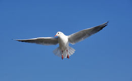 Bird fly goal sky blue sunny day seagull Royalty Free Stock Photo