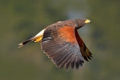 Bird in fly. Harris Hawk, Parabuteo unicinctus, landing. Wildlife animal scene from nature. Bird in fly. Flying bird of prey. Wild Royalty Free Stock Photos