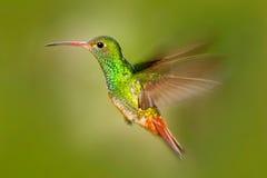 Bird in fly. Hummingbird Rufous-tailed Hummingbird. Hummingbird with clear green background in Ecuador. Hummingbird in the nature Stock Photo