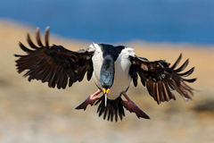 Bird in fly. Imperial Shag, Phalacrocorax atriceps, cormorant in flight, dark blue sea and sky, Falkland Islands. Wildlife scene f. Bird in fly. Imperial Shag Stock Photos