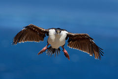 Bird in fly wit blue ocean. Imperial Shag, Phalacrocorax atriceps, cormorant in flight, dark blue sea and sky, Falkland Islands. W Royalty Free Stock Images
