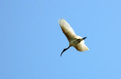 Bird flying Royalty Free Stock Photos