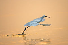 Bird flying. Little Egret flying and foraging Royalty Free Stock Photo