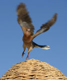 Bird flying. A colored bird flying in the blue sky Stock Photo