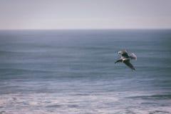 Seagull soaring royalty free stock photo