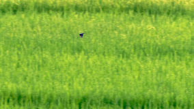 Bird flying above rice fields in Sa Pa valley. A bird in flight against the rice fields in Sa Pa valley in Vietnam stock photography