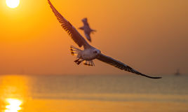 Bird flying above sea asia silhouette Royalty Free Stock Photo