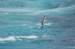 Bird flying above waves Stock Images