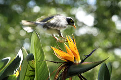 A bird flying on the bird of Paradise flower Royalty Free Stock Image