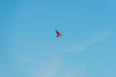 Bird flying in a blue sky at sunrise Royalty Free Stock Images