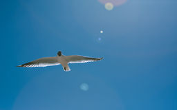 Bird flying on the desert Royalty Free Stock Image