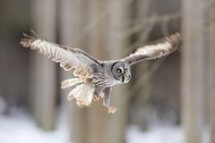 Bird flying. Great Grey Owl, Strix nebulosa, flight in the forest, blurred trees in background. Wildlife animal scene from nature. Owl fly in the the cold Royalty Free Stock Photos