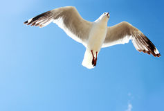 A bird flying high in the blue sky Royalty Free Stock Images