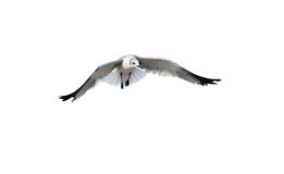 Bird Flying Isolated On White Royalty Free Stock Images