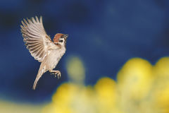 Bird is flying with its wings outstretched against the blue sky. Bird Sparrow is flying with its wings outstretched against the blue sky stock photos