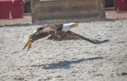 Bald eagle alone in flight catches a fish in summer royalty free stock photo