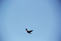 Bird Flying in the Napa Sky Royalty Free Stock Image